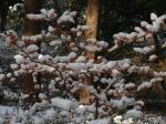 Hamamelis onder de sneeuw
